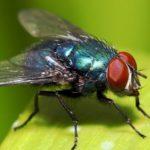Lalat Bisa Melakukan Hal Jijik Saat Hinggapi Makanan
